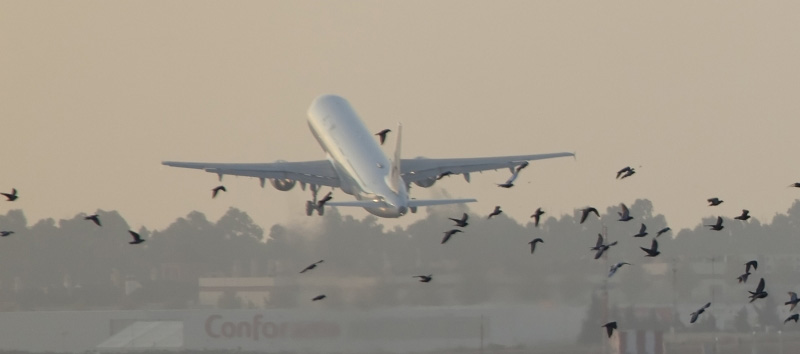 airplane taking off with birds flying nearby